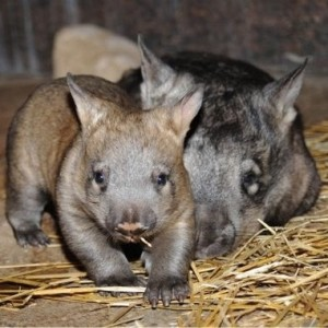 Northern hairy-nosed wombats.