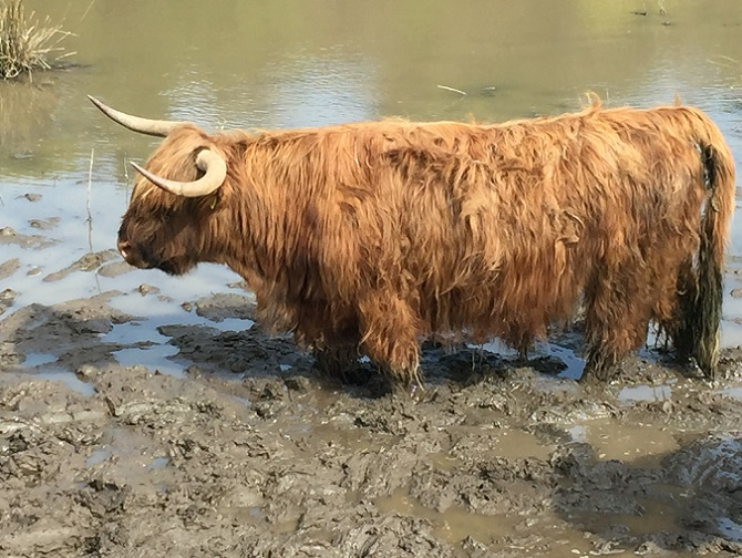 And spotted this Highlands cow along another road.