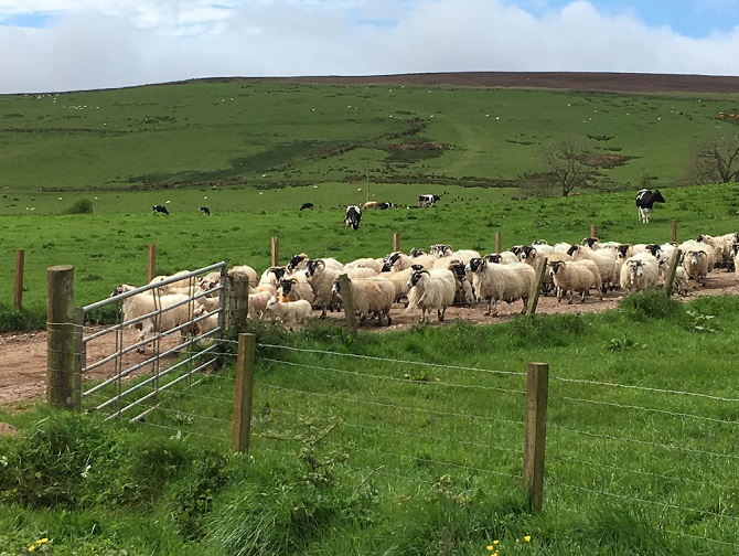 Yes, we were stopped by a flock of sheep on one country road.